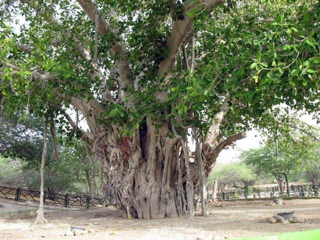 درخت-سبز-کیش