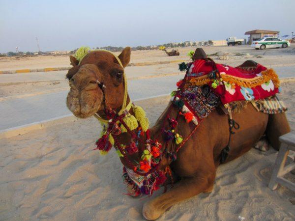 شتر سواری در کیش